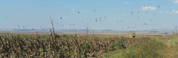 High volume pigeons & doves in Africa flying over a conservation cover crop on a shooting safari.