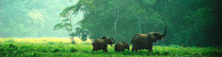 3 elephants in very green, lush, forest edge habitat, after recent rains, in balance with ecosystem.