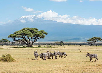 Classic traditional Masailand savanna grassland with zebras amongst the trees and view of Kilimanjaro in the background.