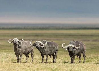 Buffalo-Cape-Hunting-Africa-Safaris-Gras