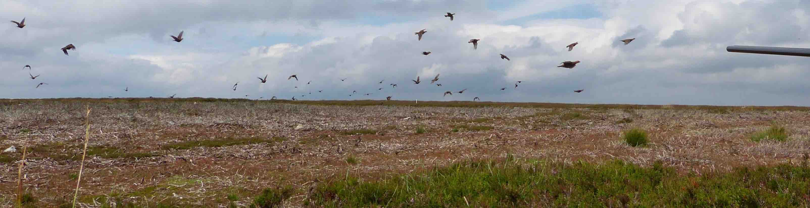 Driven red grouse over young heather burning moorland habitat for sustainable conservation shooting