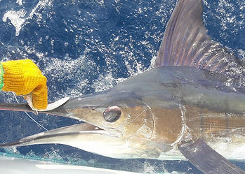 Marlin hooked with purple Rapala fishing lure, underwater photo with line to surface, off the Malindi coast of Kenya.