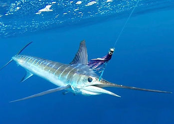 Striped Marlin hooked with purple Rapala fishing lure, underwater photo with line to surface, off the Malindi coast of Kenya.