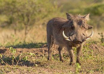 African warthog with large tusks, forward facing in dry broken ground bush scrub, in Tanzania, Africa.