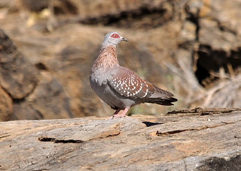 speckled-african-rock-pigeon-shooting-sa
