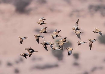 Sandgrouse flock flighting to a waterhole, in the arid bushlands of Namibia; shooting as part of African hunting safari.