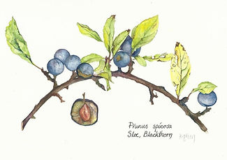Blackthorn drawing of berries for sloe gin & damson vodka; charity donation to The Game & Wildlife Conservation trust.