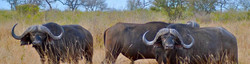 Cape buffalo 'dagga boys' in dry grassland thornbush, Chete hunting population of Lake Kariba.