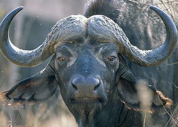 Buffalo-Hunting-Africa-Safaris-Close.jpg
