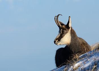Chamois-Alpine-Stalking-Hunting-Switzerl
