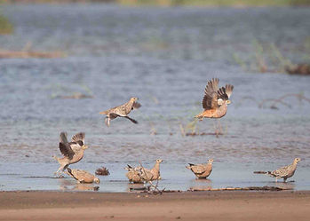 Sandgrouse in Africa, community led, sustainable use, sporting shooting safaris over water wetland areas in Namibia and Tanzania.