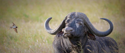 Alone African cape buffalo sitting in savanna grasslands with swallow hunting inserts in Tanzania.