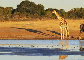 Late afternoon shadow of Giraffe cast over dry grassland bush, while at drinking water area, in Masailand, Tanzania.