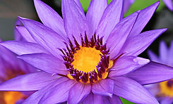 water-nature-blossom-plant-flower-purple