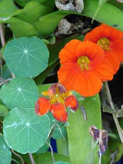 Fleurs de capucine (Tropaeolum majus) Source : PFAF