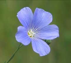 Fleur de lin à fleurs bleues (Linum usitatissimum)