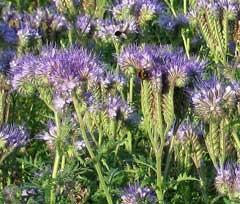 Fleurs de phacélie (Phacelia tanacetifolia)