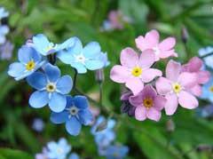 Fleurs de myosotis (Myosotis alpestris)