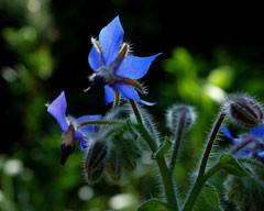 Fleurs de bourrache (Borrago officinalis)