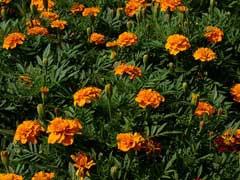 Fleurs d'œillets d'Inde (Tagetes patula)