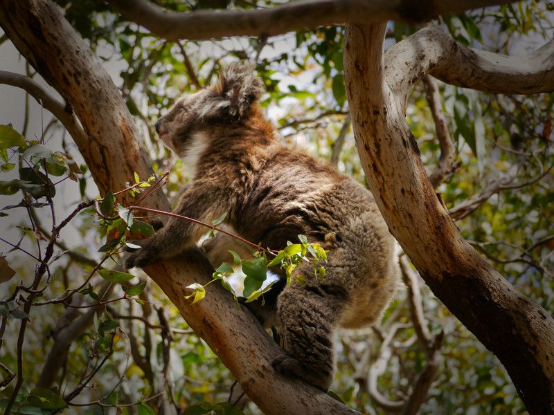 Koala Walking Up a Tree, Australia