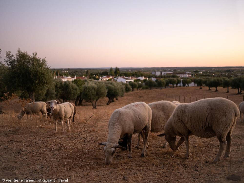 Sheep grazing in Redondo, Portugal