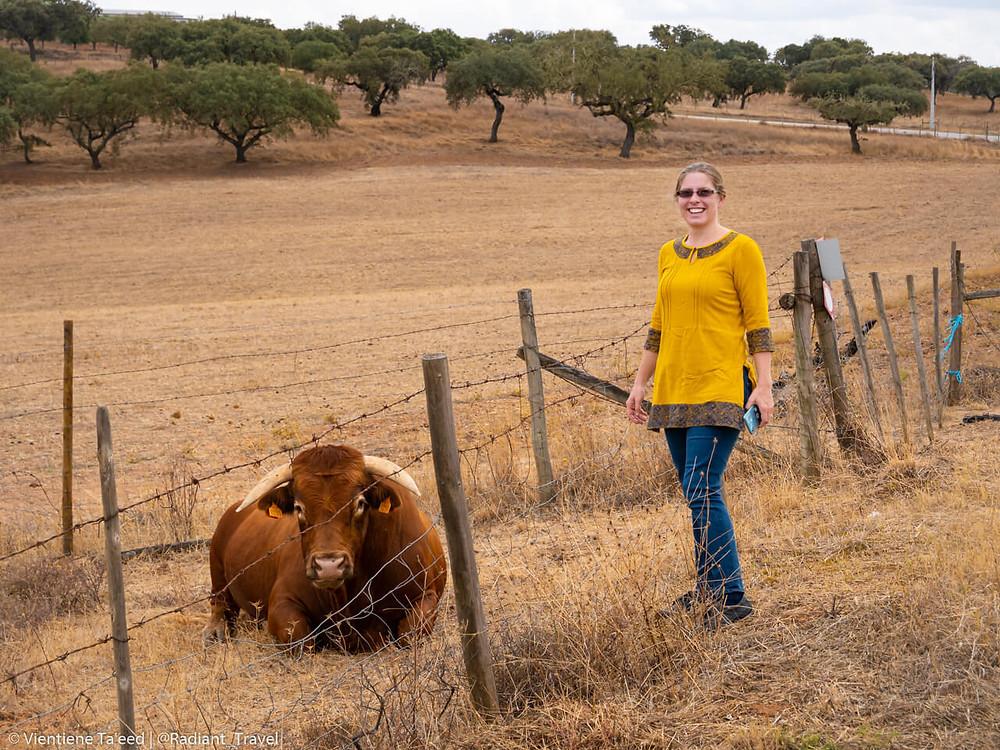 Bull lying down in Alandroal Portugal