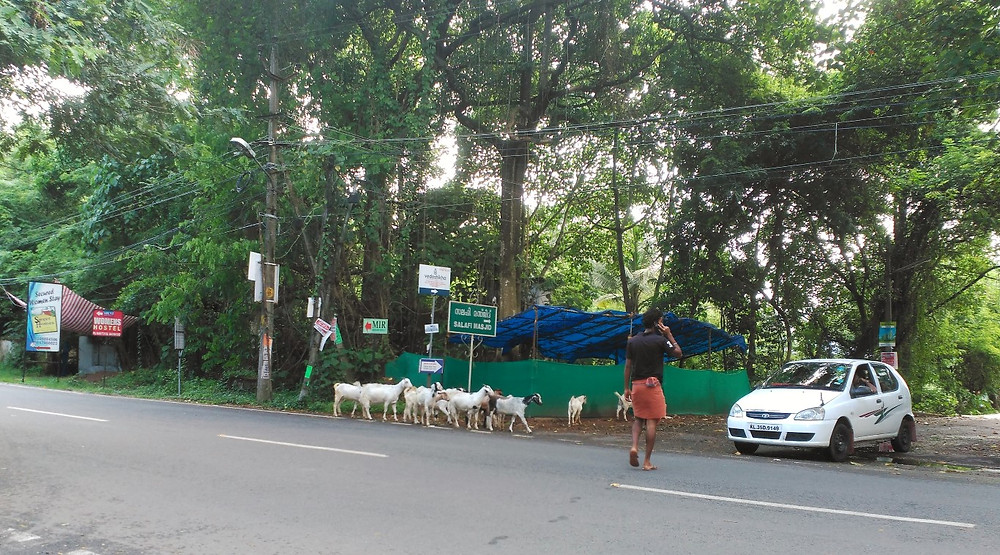 Goats in the road, Kochi, India