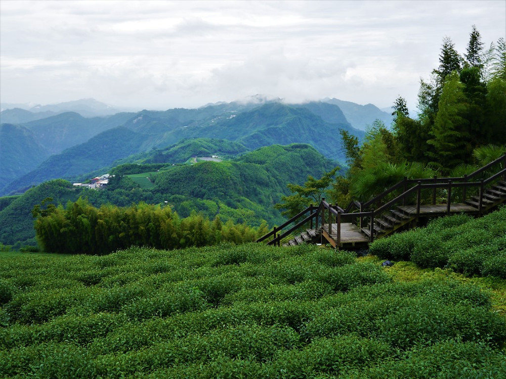 Taiwan Alishan Tea Fields