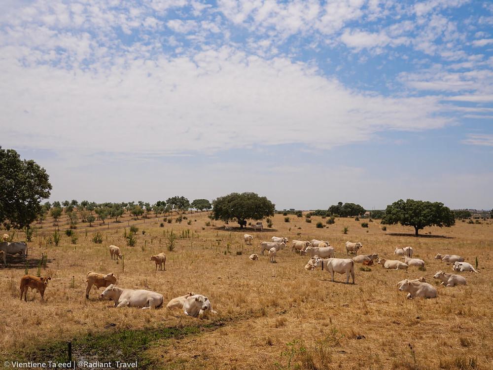 Cows sleeping in a field in the Alentejo, Portugal