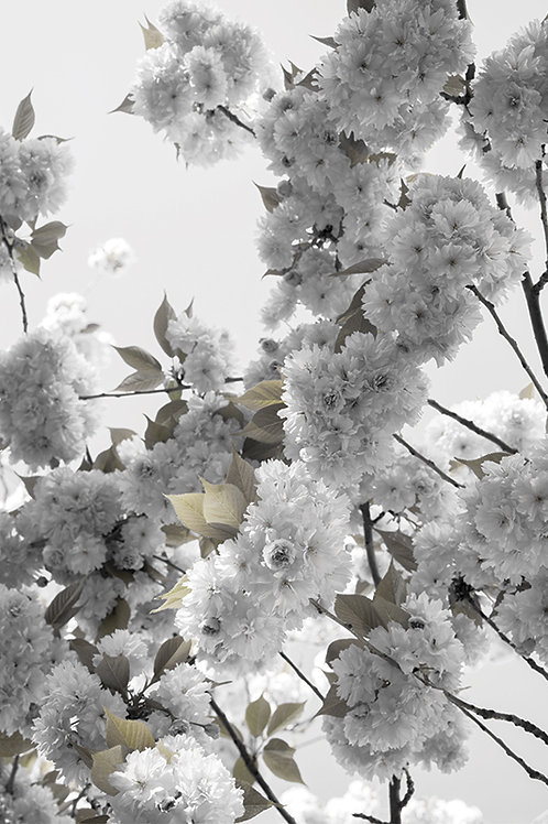 WHITE SPRING BLOSSOMS