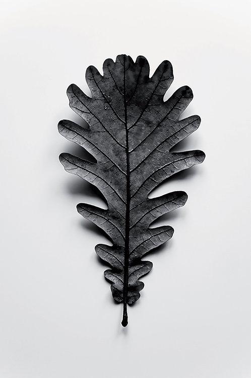 AUTUMN TREASURES - BLACK OAK LEAF