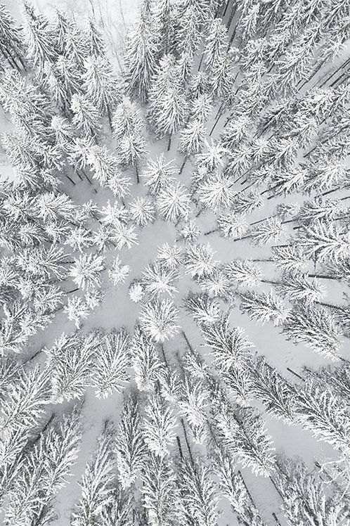 SNOWY FORESTS
