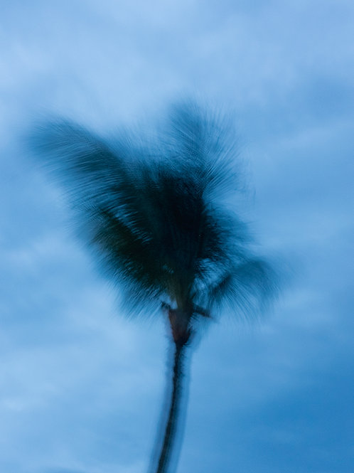 WINDY PALM TREE