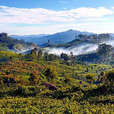 Sri Lanka, Hill Country, Travel, Tea plantation, hills, green, rolling mist, pearl of the indian ocean