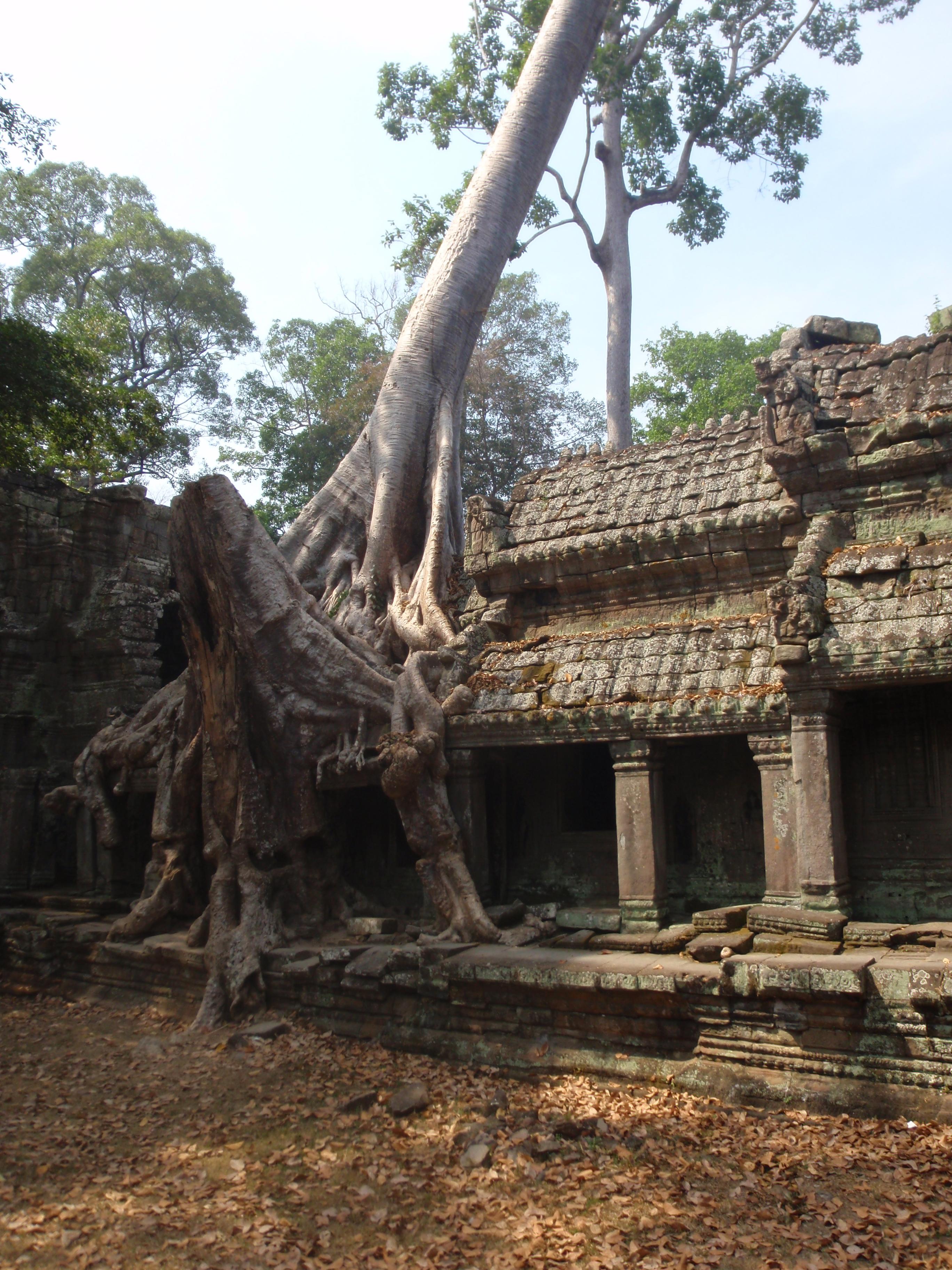 Trees growing around Ankor Wat