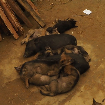 Puppies and piglets on a meat farm in Sapa