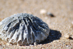 Shells on 'The Brooks', FNQ, Aus