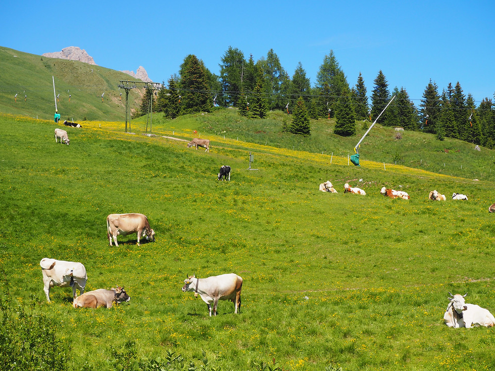 cows in italy - life itinerant