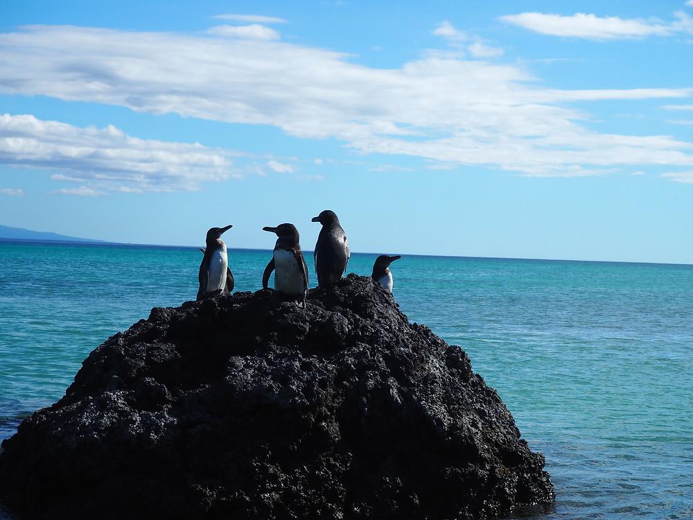 Penguins on the Galapagos islands, Ecuador - Life Itinerant