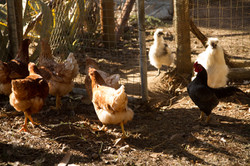 The Haveli chickens