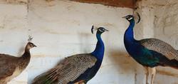 The Haveli peacocks