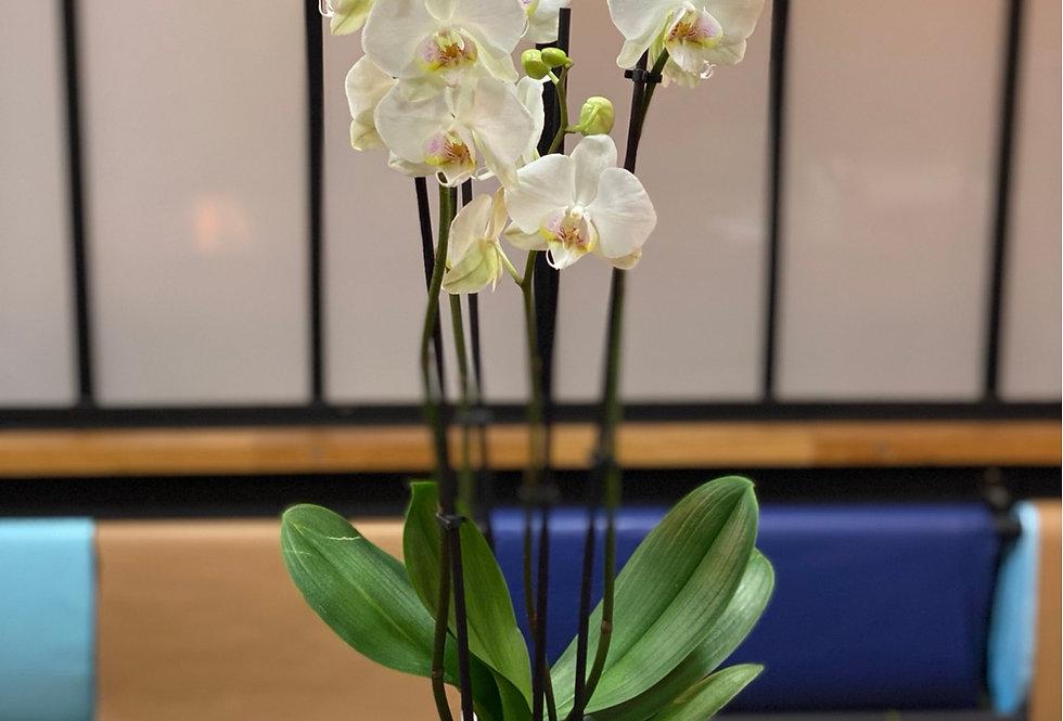 Phalaenopsis blanche et son cache-pot en céramique