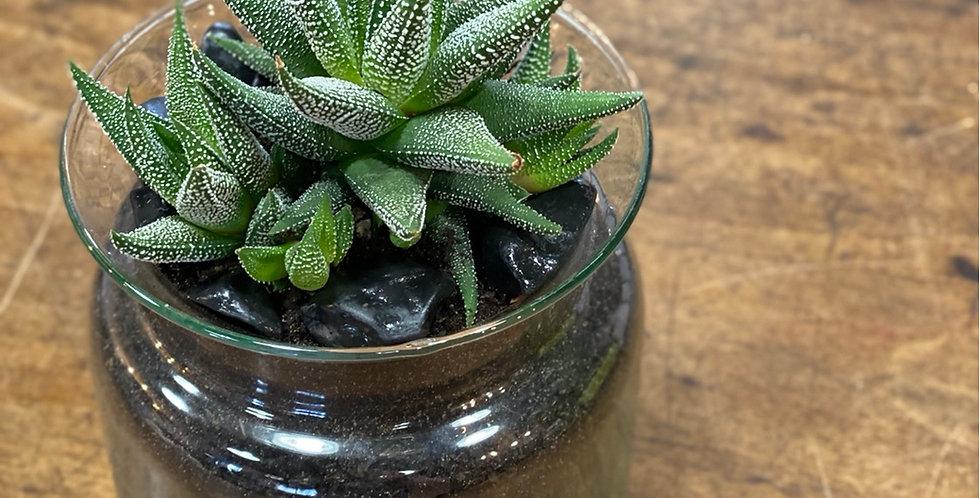 Haworthia 'Concolor' et son vase