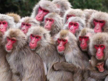 Los chimpancés se comunican para advertir problemas