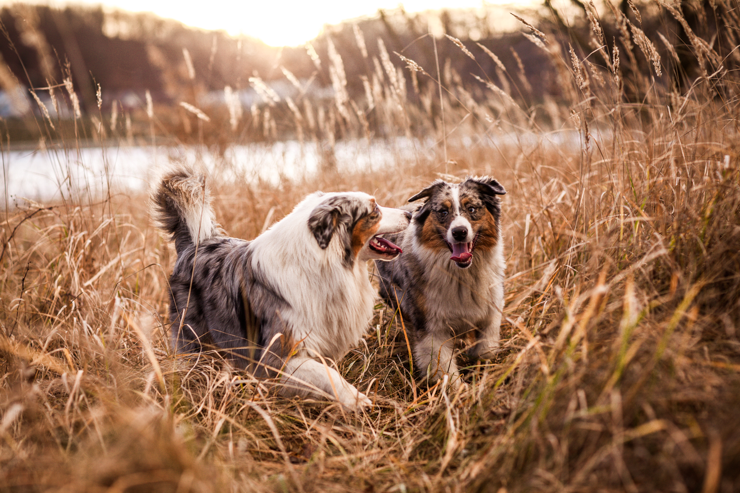 Australian Shepherds in fields of go