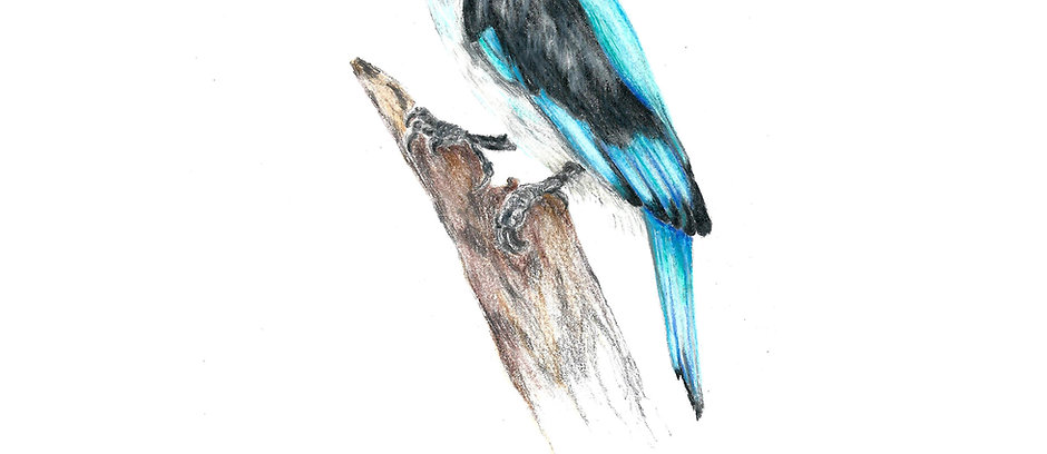 The Woodland Kingfisher (digital)