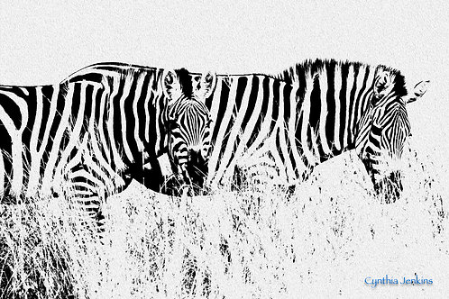 Zebras in Black and White by Cindy Jenkins