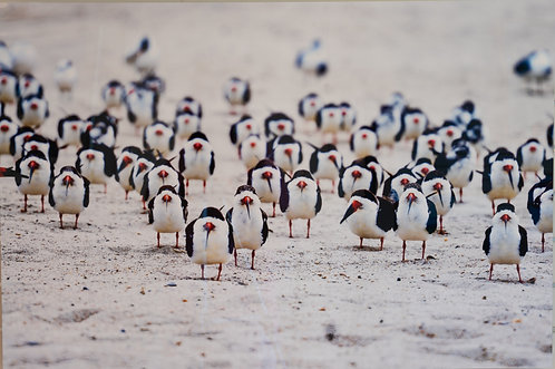 March of the Black Skimmers by Karen Bowden