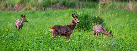 Roe deer hunt in Europe